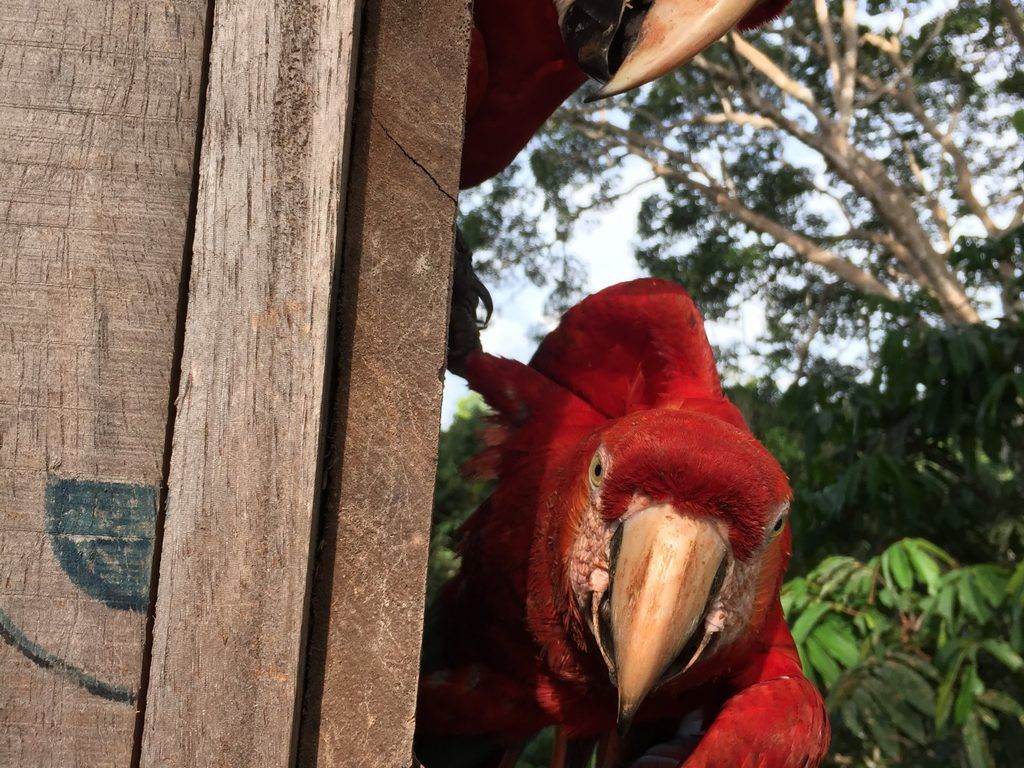 macaws in a nest box