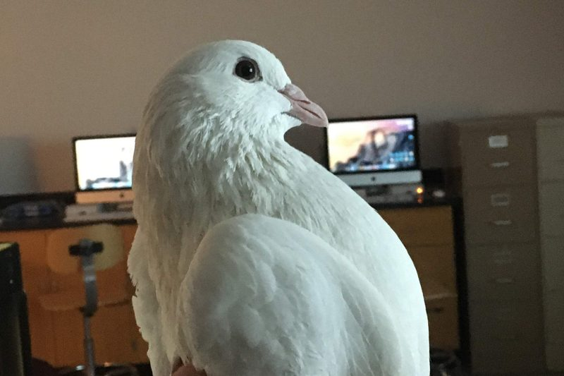 A white pigeon named Corny