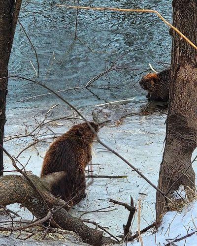 arb beavers2