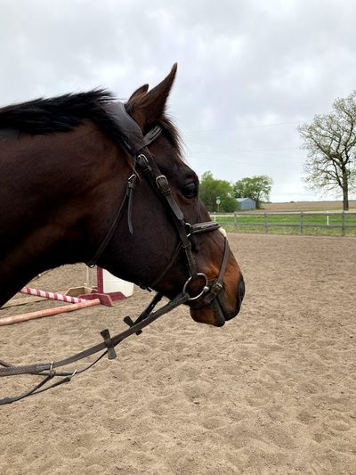 A horse with a bridle standing in an outdoor ring