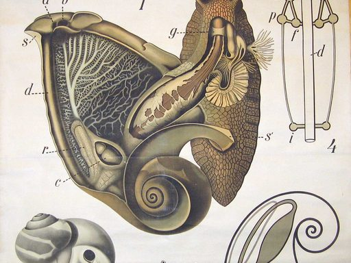 Snail Gastropoda Zoologische Wandtafeln Drawn and edited by Paul Pfurtscheller (1855-1927)