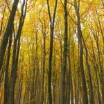 Tall, skinny trees bathed in yellow leaves