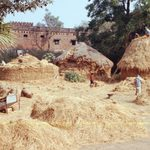 Several people harvest rice