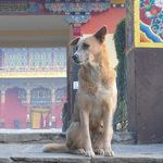 A solitary dog sits in front of the temple