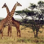 Giraffes spotted on safari