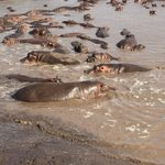 Hippos in Serengeti National Park