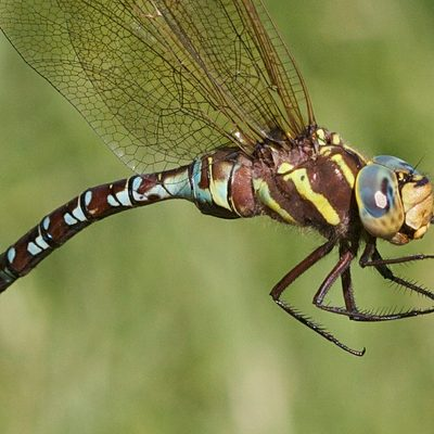 Aeshna constrict, Lance-tipped Darner