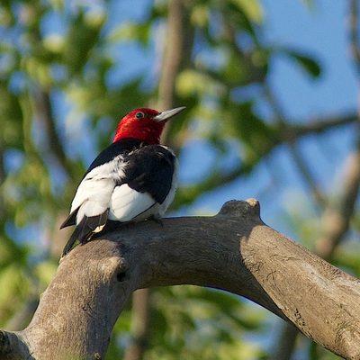 Redheaded Woodpecker by Gerald Hoekstra
