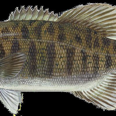 By Ianaré Sévi (for modifications only) Duane Raver, U.S. Fish and Wildlife Service [Public domain]
