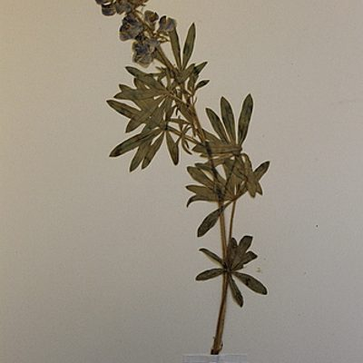 Pressed flowering specimen