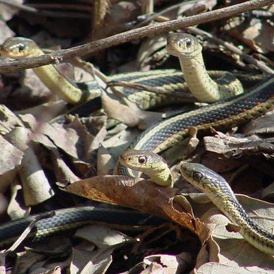 Eastern garter snakes, Thamnophis sirtalis sirtalis found in the arboretum