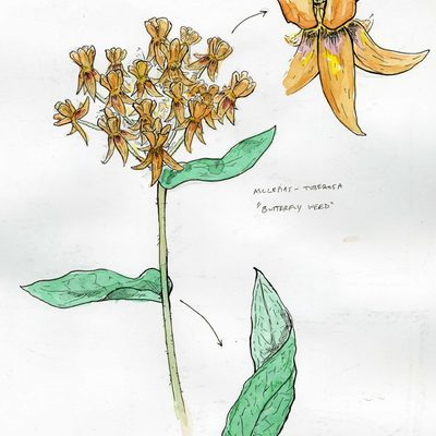 Butterfly Weed by Sean Dickson '08.