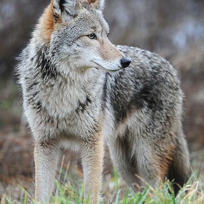 A coyote.