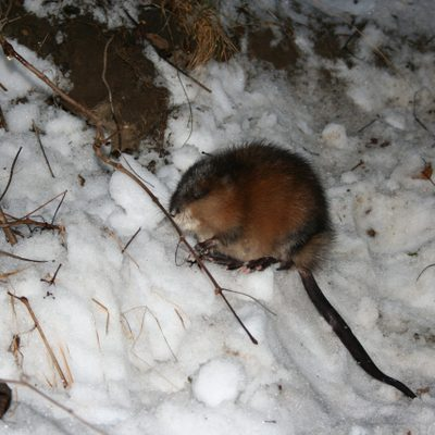 A muskrat in the Arb during Winter.