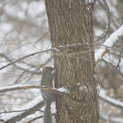 A squirrel climbing a tree in the Arb.