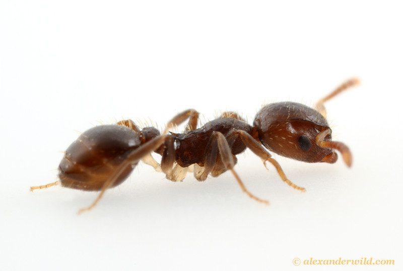 Protomognathus americanus, an acorn slave-raiding ant.