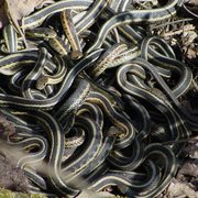 A ball of mating garter snakes in the Arb.