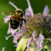 Rusty Patched bumble bee on a flower