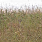 A deer standing in a field