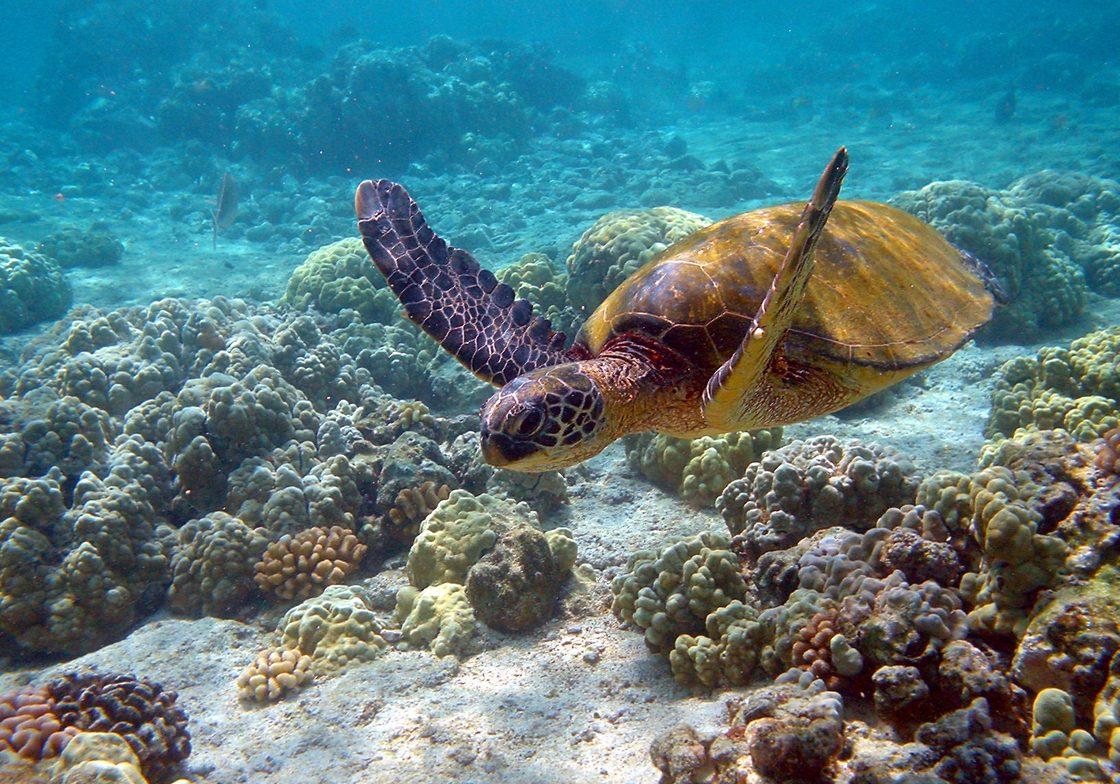 Green turtle, Hawaii.