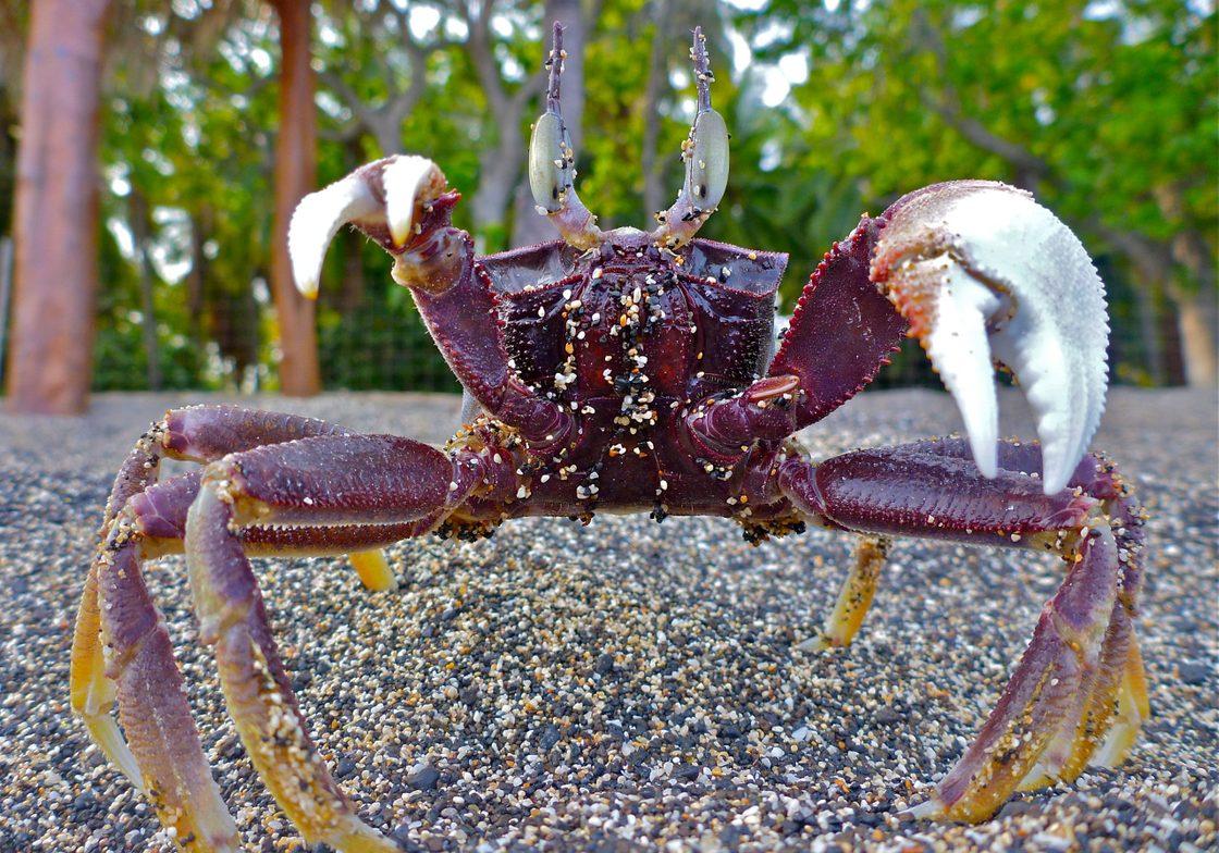 Horned Ghost Crab on the Kona coast, Hawaii island.