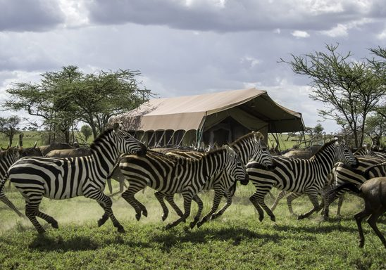 Zebra and Wildebeest passing directly in front of the Sametu Camp.