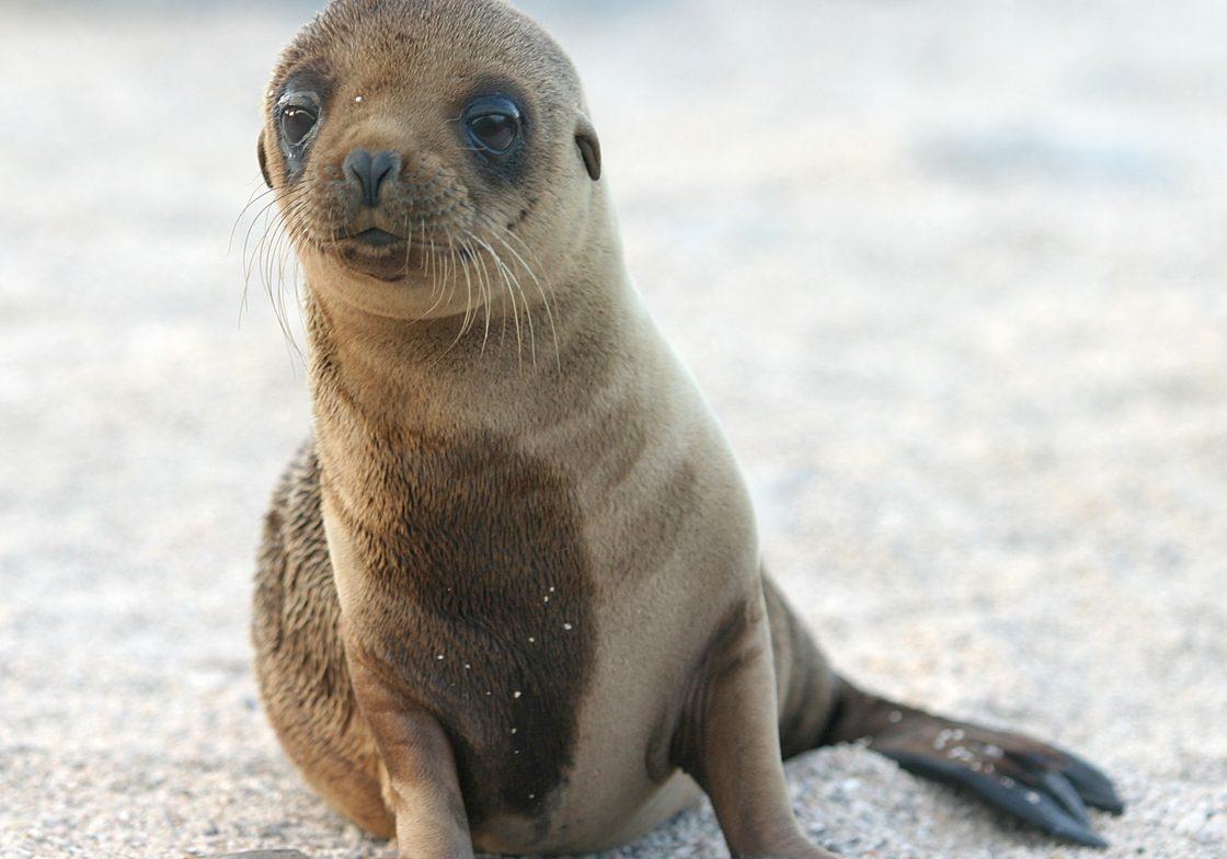 Sea Lion Pup by Ken Walker