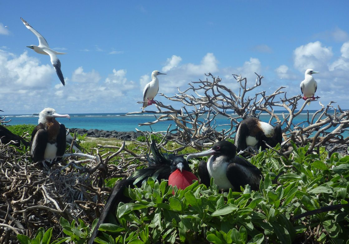 Great Figatebirds and Red Footed Boobies at Tern Island