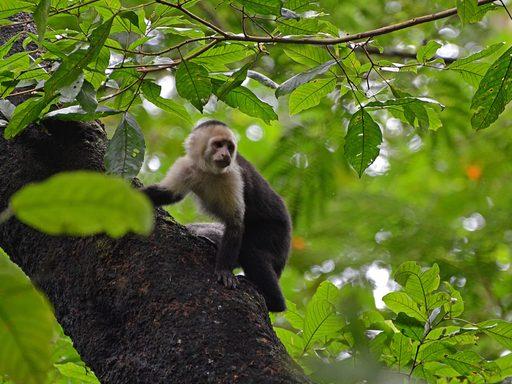 White-faced Capuchin monkey.