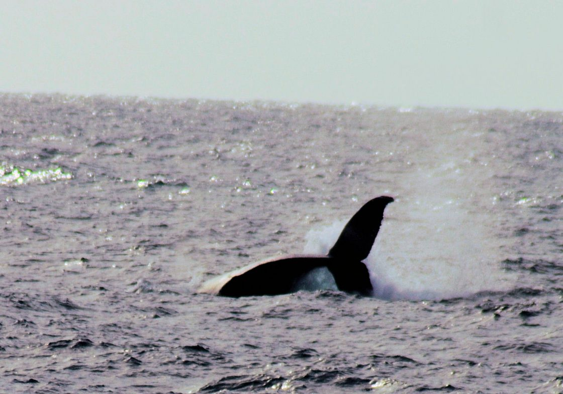 Whale Action Shot 1