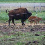 Big Woods Bison Farm
