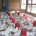 Callister Chicken Farm