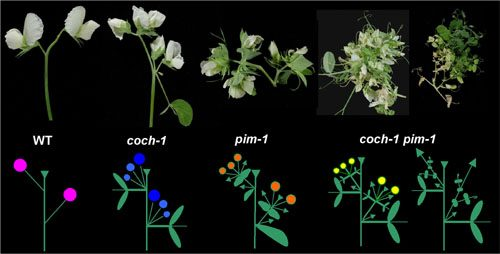 Pea plants and their branching patterns