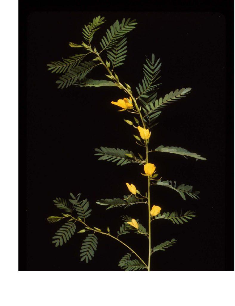 Flowering Chamaecrista shoot